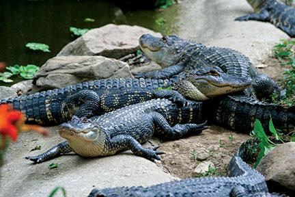 experience_animals_alligatorbayou