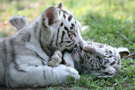 experience_animals_eurasia_tiger-kittens
