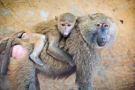 experience_animals_islands_baboon