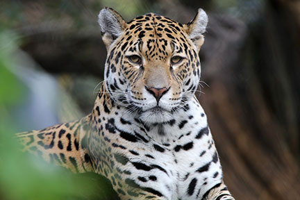 latin america jaguar