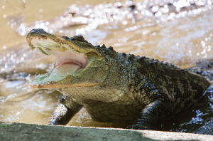 Alligator at the Catoctin Wildlife Preserve