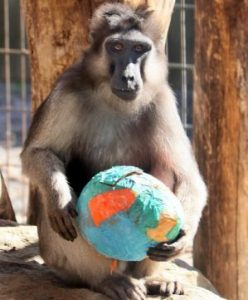 Macaque with Easter Egg